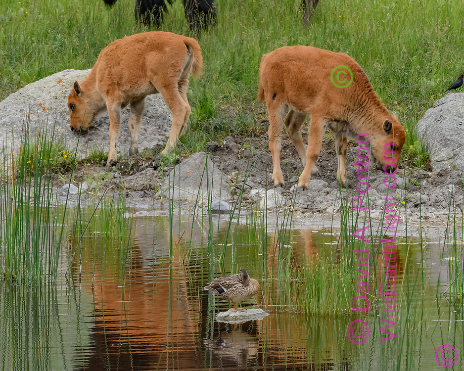 Bison calves at pond with mallard female, Yellowstone National Park, © David A. Ponton