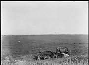 """9707-K211. written on original negative: """"Cattle at St. Pauls CLA""""  St. Pauls Island. Pribilof Group. July 11, 1919"""