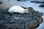 A Hawaiian Monk Seal lays on its back at Kaena Point on Oahu.