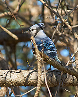 Blue Jay (Cyanocitta cristata). Image taken with a Nikon D2xs camera and 80-400 mm VR lens.