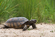 Gopher Tortoise (Gopherus polyphemus) Female<br /> MANIPULATED<br /> The Orianne Indigo Snake Preserve<br /> Telfair County. Georgia<br /> USA<br /> Threatened species in Georgia<br /> HABITAT & RANGE: Frequently burned longleaf pine & oak forests & sandhills & areas of good ground cover. Southeast USA
