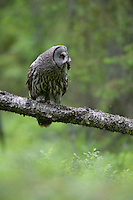 Great grey owl (Strix nebulosa) in boreal forest with prey, Oulu, Finland.
