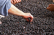 Hand selecting the bad grapes at a sorting table. Merlot. Chateau Grand Corbin Despagne, Saint Emilion Bordeaux France