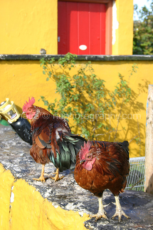 Two hens on yellow wall