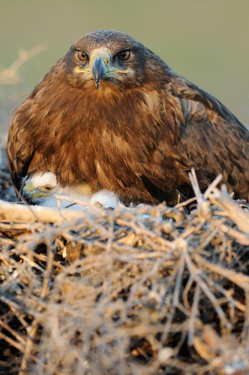Mission:  Saiga.Steppe eagle (Aquila nipalensis) on its nest, Cherniye Zemly (Black Earth) Nature Reserve, Kalmykia, Russia, May 2009.Aquila rapax