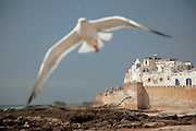 Seagulls fly low near the fish market and the fortified sea wall protecting the medina at Essaouira, Morocco