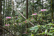 Native rhododendron flowers (in the heath family, Ericaceae) bloom pink-magenta on April 27, 2016 at the southern base of Goose Rock Summit Trail in Deception Pass State Park, on Whidbey Island, in Washington, USA.
