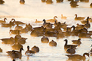 00748-05509 Canada Geese (Branta canadensis) flock on frozen lake,  Marion Co, IL