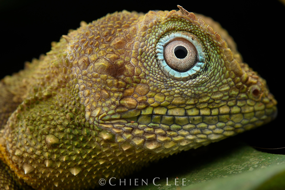 Black-lipped Shrub Lizard (Pelturagonia nigrilabris). Sabah, Malaysia (Borneo).