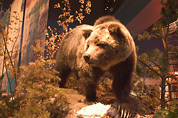 WY: Wyoming, Cody: Buffalo Bill Historical Center...Draper Museum, Grizzly Bear exhibit.Photo #: yellow631..Photo copyright Lee Foster, 510/549-2202, lee@fostertravel.com, www.fostertravel.com..