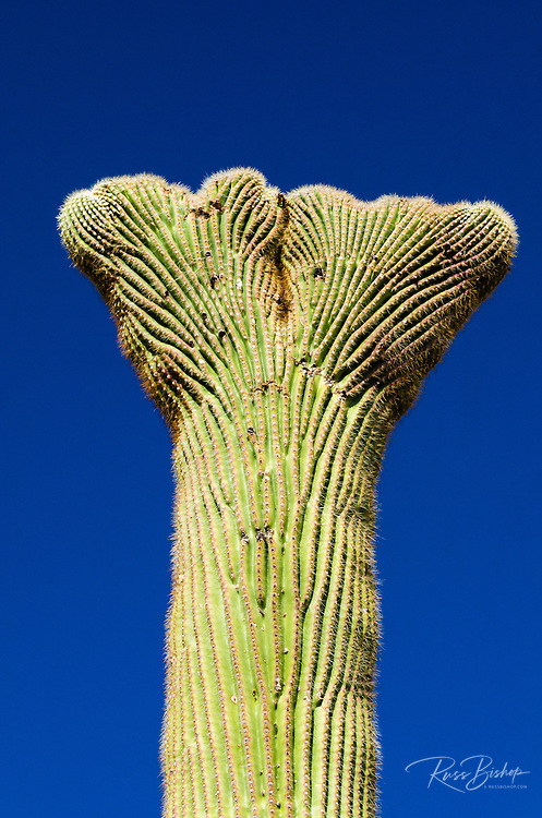 Saguaro cactus crown in the Ajo Mountains, Organ Pipe Cactus National Monument, Arizona USA
