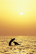Atlantic spotted dolphins, Stenella frontalis, jousting or fighting at sunset, White Sand Ridge, Little Bahama Bank, Bahamas ( Western Atlantic Ocean )