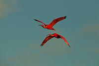 Two Scarlet Ibises (Eudocimus ruber) flying through the sky in Delta Amacuro, Venezuela.