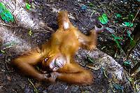 Indonesia, Sumatra. Bukit Lawang. Gunung Leuser National Park. The orangutan sanctuary of Bukit Lawang is located inside the park. At the feeding platform, taking a nap.