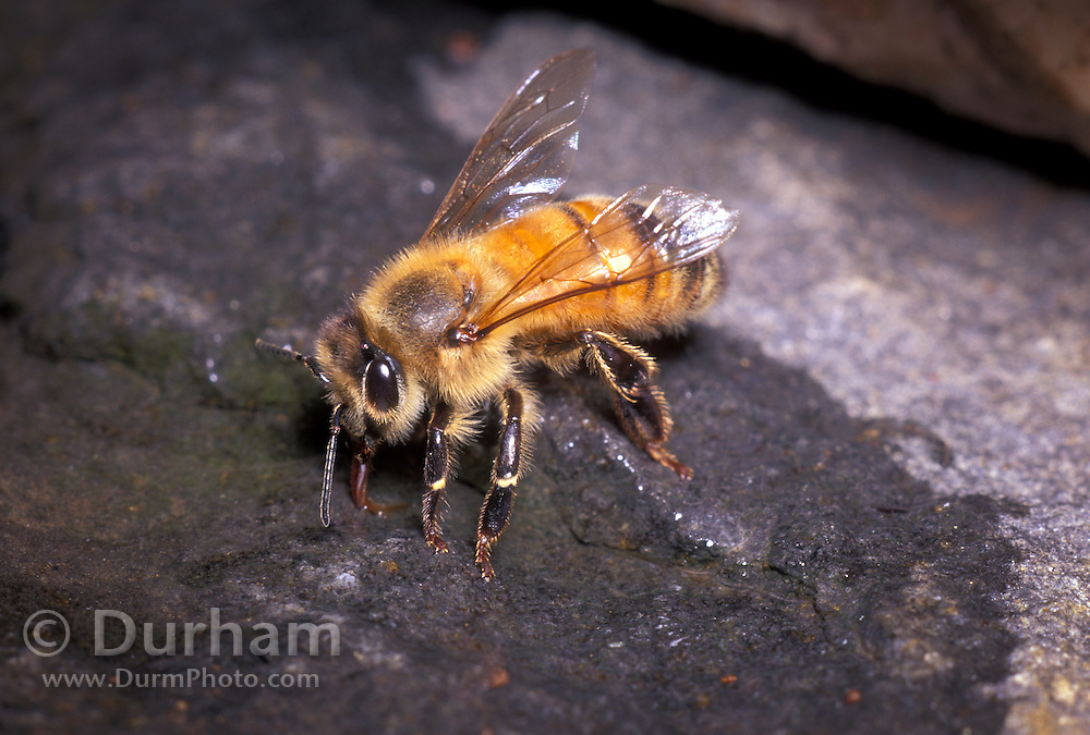 Honey bee (Apis mellifera) drinking water from a puddle in western Oregon. Note the proboscis being used to suck up the water.