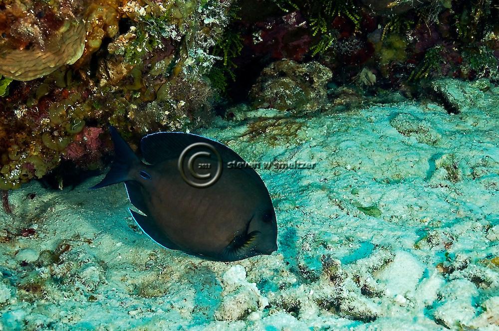 Doctorfish, Acanthurus chirugus, Bloch 1787, Grand Cayman