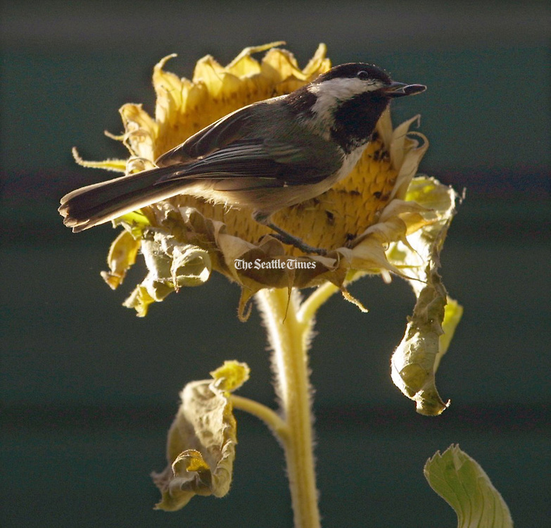 Reaping what he sowed, a Black-capped chickadee plucks a seed from a sunflower that is fading into fall.  Chickadees spilled seeds from a bird feeder in the spring and these sunflowers grew in the Montlake neighborhood. (Tom Reese / The Seattle Times)