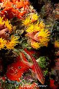 neon triplefin, Helcogramma striatum, Lighthouse Bommie, Ribbon Reefs, Great Barrier Reef, Australia
