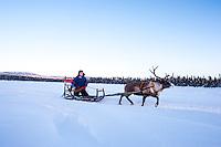 Per-Anders Nutti sledding - Reindeer, sledding, and Sami culture