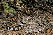 A Western Diamondback rattlesnake (Crotalus atrox) hunting at night for birds or rodents (Arizona)