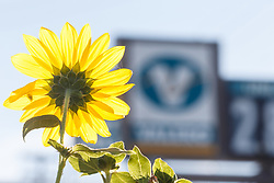 Sunflowers and gas station sign, Blackland Prairie remnant, Mesquite,Texas, USA