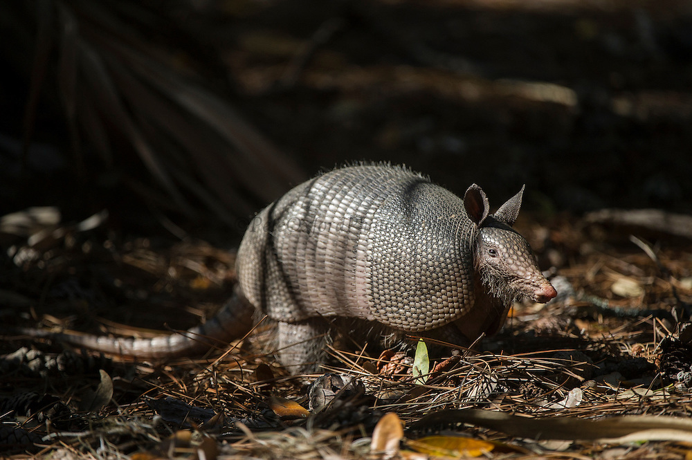 Nine-Banded Armadillo (Dasypus novemcinctus)<br /> Little St Simon's Island, Barrier Islands, Georgia<br /> USA<br /> RANGE: North, Central and South America<br /> Most widespread of all armadillos with expanding range.