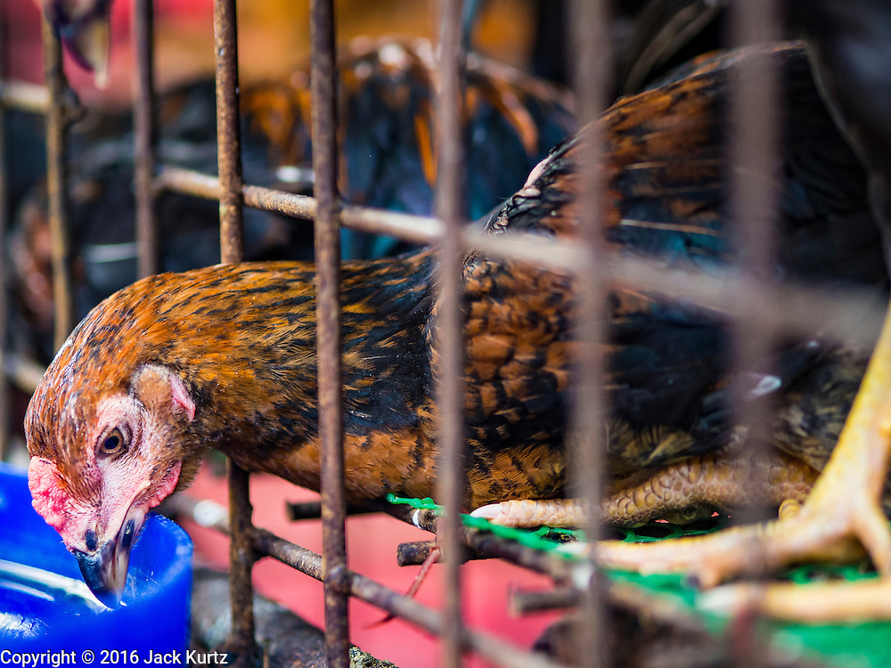 """12 JANUARY 2016 - BANGKOK, THAILAND: A chicken in a pen in the live poultry section of Khlong Toey Market (also spelled Khlong Toei) in Bangkok. On Monday the Thai Ministry of Public Health instructed government agencies to watch for any signs of """"bird flu"""" during the winter season, and warned the public to avoid contact with any birds that appear sickly. The latest data from the World Health Organization showed the continuous transmission of avian flu in various countries, both in people and birds. Bird Flu is endemic in China, Vietnam and Indonesia, all important Thai trading partners. There have been no recorded outbreaks of Bird Flu in humans in Thailand several years.      PHOTO BY JACK KURTZ"""