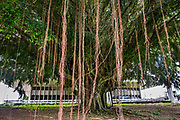 A large banyan tree lays down many roots in Hilo's Wailoa River State Recreation Area, behind the Hawaii State Human Services Department building on the Big Island. Address: 75 Aupuni St, Hilo, HI 96720, USA.
