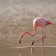 Greater Flamingo (Phoenicopterus ruber) on Santa Cruz Island, Galapagos Islands, Ecuador.