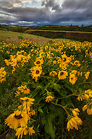 Arrowleaf yellow balsamroot wildflowers dot the hills on Rowena Crest in the Columbia River Gorge in Oregon.