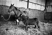 Legendary racehorse Arkle in retirement with a stable companion at at Maynooth. The Tom Dreaper-trained bay won three Cheltenham Gold Cups (1964, 1965, 1966), the Irish Grand National and a host of other top prizes. .04.08.1967