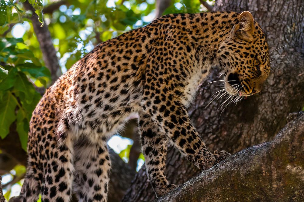 A leopard walks on a tree limb, Kwando Concession, Linyanti Marshes, Botswana.