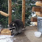 Raccoon, (Procyon lotor) On deck feeding on peanuts in bird feeder.  Captive Animal.