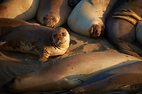 Elephant Seals at Piedras Blancas Beach, Central California Coast. Image taken with a Nikon D3x and 70-300 mm VR lens (ISO 220, 300 mm, f/8, 1/250 sec).