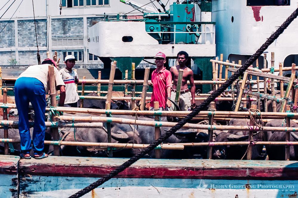 Java, East Java, Surabaya.  Cattle transport in Kalimas harbour
