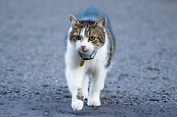 Downing Street, London, November 29th 2016. Larry the Downing Street cat prowls his territory as ministers arrive at 10 Downing Street for the weekly meeting of the UK cabinet.
