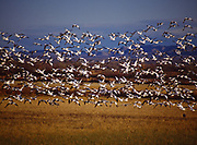 Snow geese, Chen caerulescens, flying, Bosque del Apache National Wildlife Refuge, New Mexico.