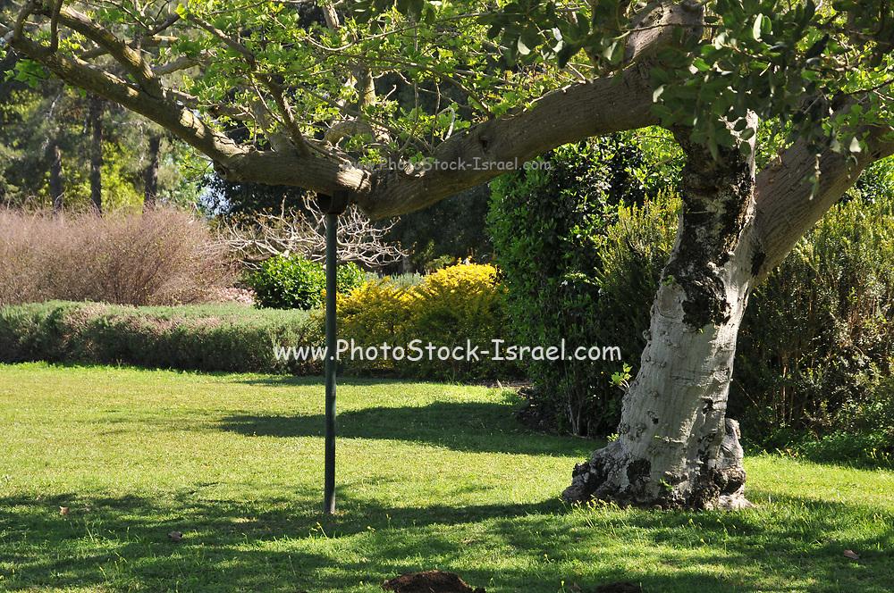 Tree supported by a pole. Photographed at Ramat Hanadiv gardens near Zichron Ya'acov, Mount Carmel, Israel