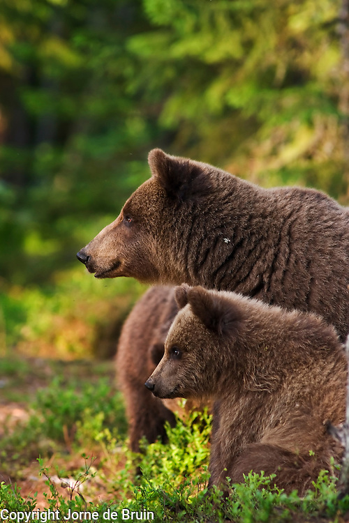 An Eurasian Brown Bear and her Cubs sit on the lookout together in a forest in Finland.