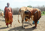 Datoga woman in traditional leather dress adorned with beads and brass bracelets milking a cow