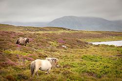 Heather, Bog Myrtle and horses. Loch Skiport, South Uist, Outer Hebrides, Scotland. Myrica gale