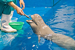 captive finless porpoise, Neophocaena phocaenoides (c), feeding on a dead fish off its trainer's hand, Indo-Pacific Ocean
