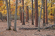 autumn Garry Oak, (Quercus garryana)and Ponderosa Pind (Pinus ponderosa) forest on the rim of the Klickitat Canyon near Glendale,  Klickitat County, WA, USA