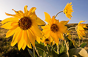 Arrowleaf Balsamroot in the Boise Foothills