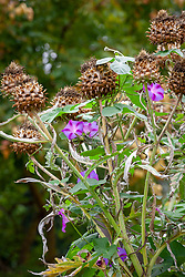 Seedheads of Cynara cardunculus Scolymus Group - Cardoon - with Ipomoea purpurea syn. Convolvulus major hort  - Common  morning Glory - growing up it.