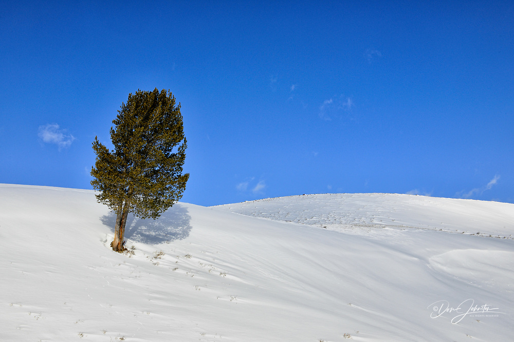 Pine tree on a snowy hillside in the Lamar Valley, Yellowstone NP, Wyoming, USA