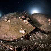 These are endangered tri-spine horseshoe crabs (Tachypleus tridentatus) moving across the ocean floor together prior to engaging in spawning. The larger female is in front, the smaller male attached to the rear. <br />