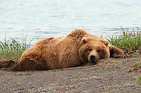 Brown bear sleeping by the lake in Alaska. Wildlife and nature photography prints. Fine art photography wall art for sale. Stock Images.