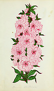 Prunus Trillobata from Dewey's Pocket Series ' The nurseryman's pocket specimen book : colored from nature : fruits, flowers, ornamental trees, shrubs, roses, &c by Dewey, D. M. (Dellon Marcus), 1819-1889, publisher; Mason, S.F Published in Rochester, NY by D.M. Dewey in 1872