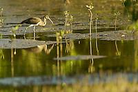 A juvenile Scarlet Ibis (Eudocimus ruber) foraging in the mudflats of the Orinoco River Delta, Venezuela.